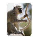 Vervet monkey holding tail rectangular magnets