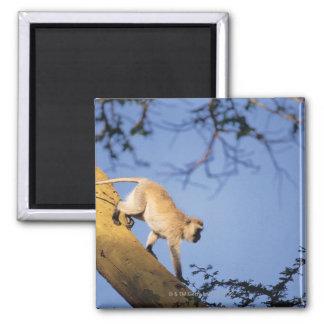 Vervet monkey on tree branch , Serengeti Magnets
