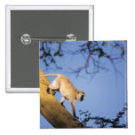 Vervet monkey on tree branch , Serengeti Pinback Button