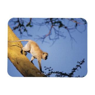 Vervet monkey on tree branch , Serengeti Rectangle Magnet