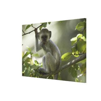 Vervet Monkey, Zimbabwe Gallery Wrap Canvas