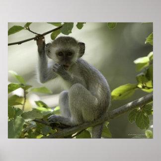 Vervet Monkey, Zimbabwe Poster
