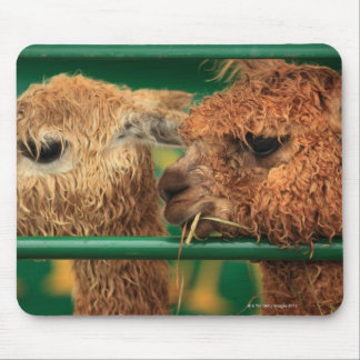 very cute lamas both looking at something off mouse pad