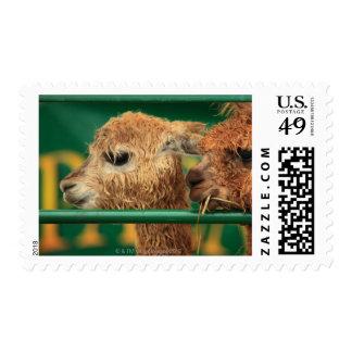 very cute lamas both looking at something off postage
