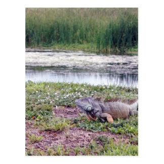 Very Large Wild Iguana Lizard Postcard