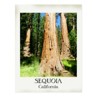 Very Nice Sequoia Postcard! Postcard
