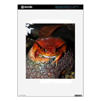 Very nice tomato frog. Frog with unusual color. Skin For iPad 3