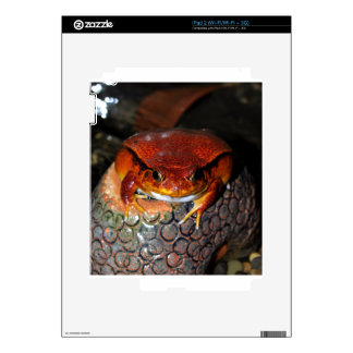 Very nice tomato frog. Frog with unusual color. Skins For The iPad 2