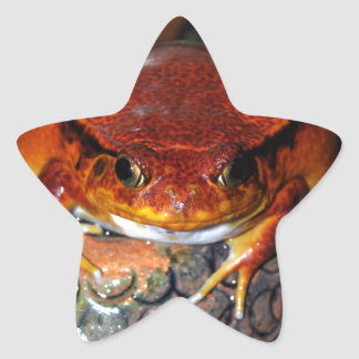 Very nice tomato frog. Frog with unusual color. Star Sticker