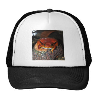 Very nice tomato frog. Frog with unusual color. Trucker Hat