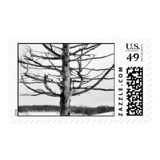 Very old tree in black and white postage stamp
