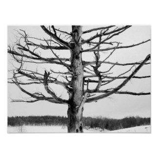 Very old tree in black and white poster