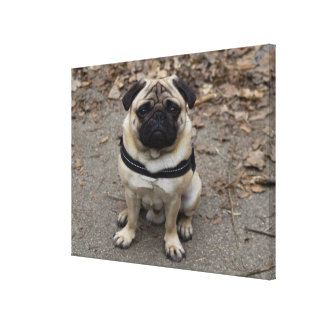 Very Serious Pug Canvas Print