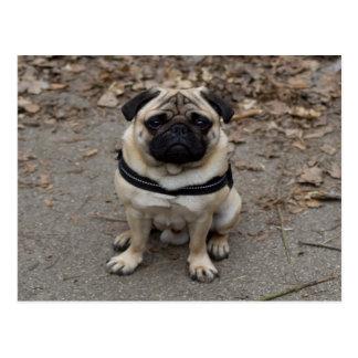 Very Serious Pug Postcard