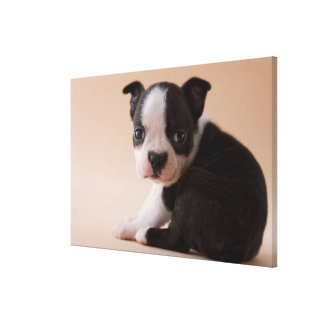 Very Young Boston Terrier Puppy Canvas Print