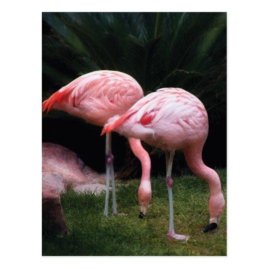 Vetrinarian - A set of Flamingos Postcard