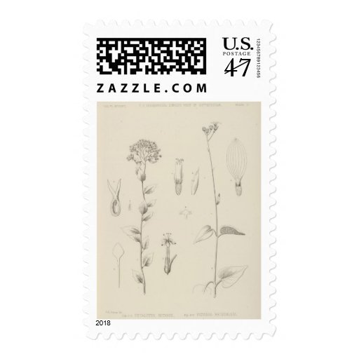 VI Aplopappus cervinus Postage Stamp