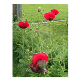 Vibrant Blooming Red Poppies Postcard