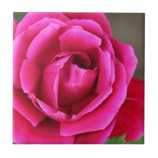 Vibrant Fuchsia Pink Rose Blossom Makro Ceramic Tile