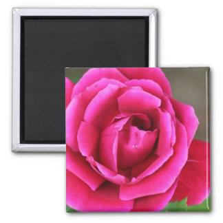 Vibrant Fuchsia Pink Rose Blossom Makro Magnet