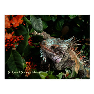 Vibrant Iguana Post Card, US Virgin Islands Postcard