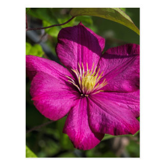 Vibrant Magenta Pink Clematis Blossom Postcard