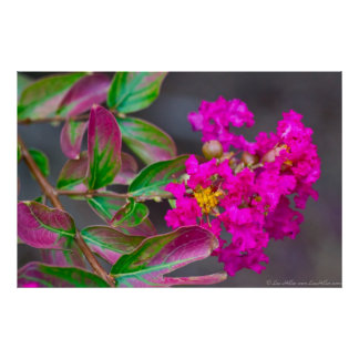Vibrant Pink Crepe Myrtle in Bloom Poster