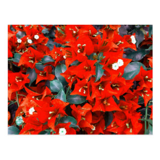 Vibrant Red Bougainvillea Flowers Postcard