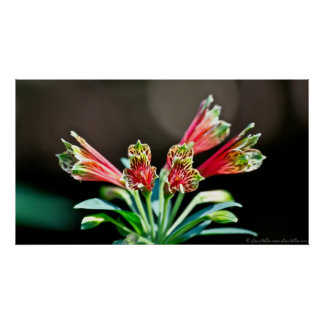 Vibrant Red Yellow Parrot Lily Poster