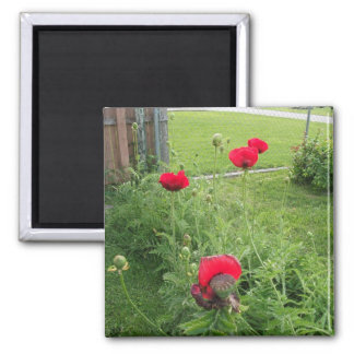 Vibrant Tall Red Poppies 2 Inch Square Magnet