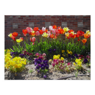 Vibrant Tulips Poster