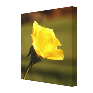 Vibrant Yellow Rose: Closeup Side View Gallery Wrapped Canvas