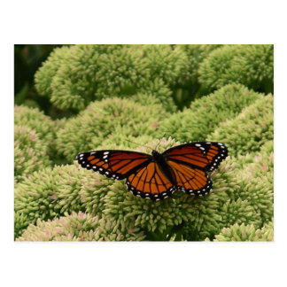Viceroy Butterfly Beautiful Nature Photography Postcard