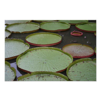 Victoria Amazonica Lilypads Póster