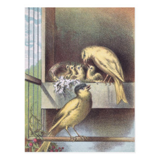 Victorian Crested Canaries with Baby Birds Postcard