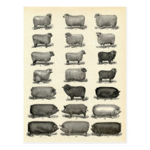 Victorian Etching of Pigs & Sheep Postcard