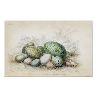 Victorian Print of Various Birds Eggs