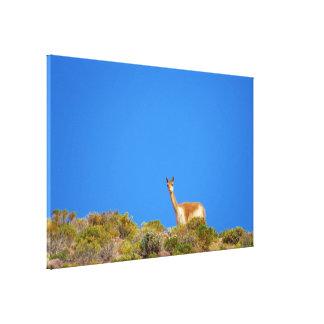 vicuña blue canvas print