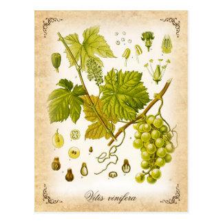 Vid de uva común - ejemplo del vintage tarjeta postal