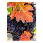 Vid de uva seca de la cala postal
