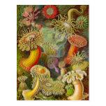 Vida del océano de Actinae de Ernst Haeckel Postal