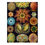 Vida marina del vintage, Ascidiae de Ernst Haeckel Tarjetas Postales