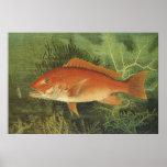 Vida marina del vintage, pescado del pargo rojo en posters