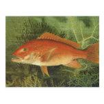Vida marina del vintage, pescado del pargo rojo en postal