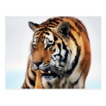Vida salvaje de los tigres postal