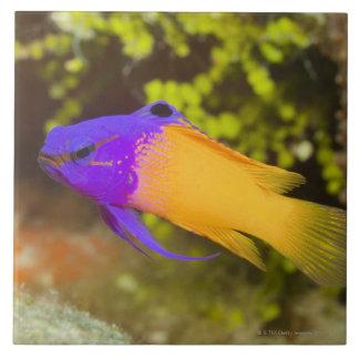 Vida subacuática, PESCADO:  un Basslet de hadas Azulejo Cuadrado Grande