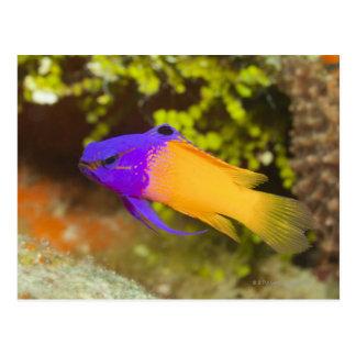 Vida subacuática, PESCADO:  un Basslet de hadas Postales