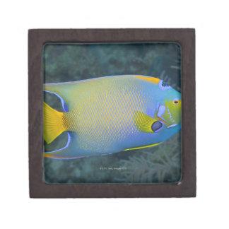 Vida subacuática PESCADOS Angelfish de la reina Cajas De Recuerdo De Calidad