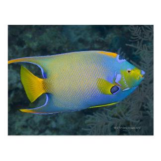 Vida subacuática; PESCADOS:  Angelfish de la reina Postales