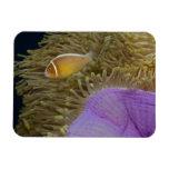 Vida subacuática; PESCADOS: Clownfish (rosa Imán De Vinilo